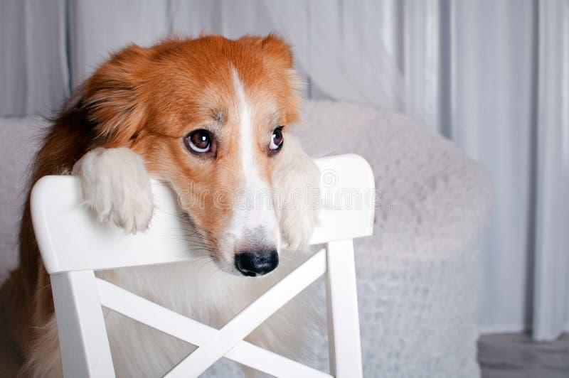 Ritratto del cane del Border Collie in studio fotografie stock