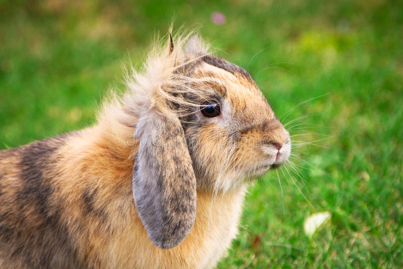 Ritratto sveglio del coniglio immagine stock libera da diritti