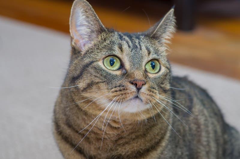 Ritratto sveglio del gatto di un gattino felice immagini stock libere da diritti