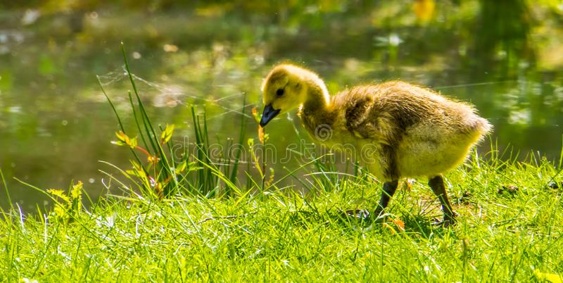 Ritratto sveglio di una papera chiocciante dell'oca che cammina nell'erba, anatra giovanile, specie tropicale del primo piano del fotografia stock