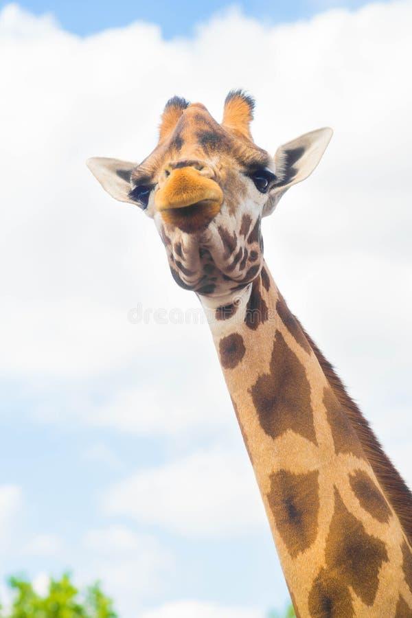 Ritratto sveglio divertente del fronte della giraffa sul fondo del cielo fotografia stock