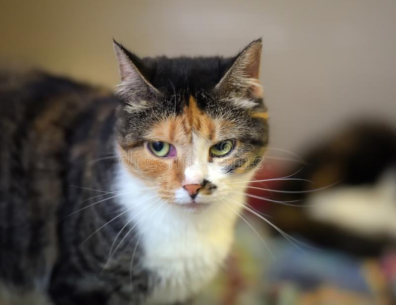 ritratto tricolore del gatto dello shorthair fotografia stock