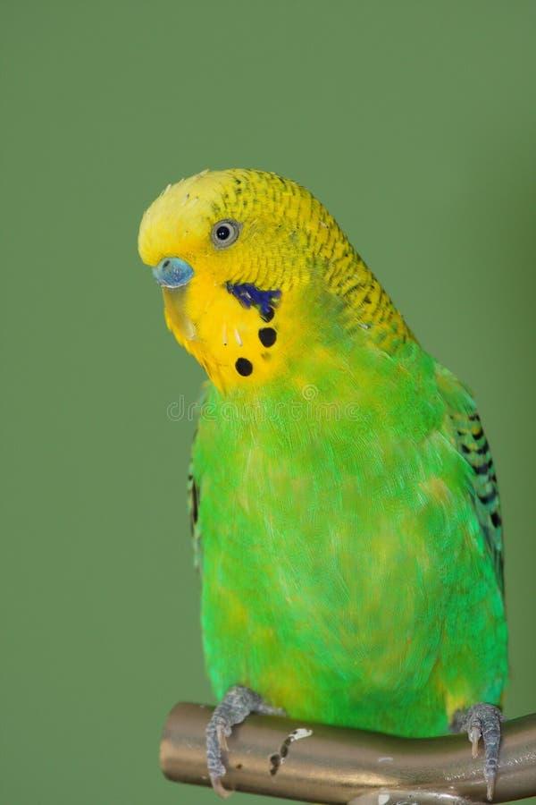 Ritratto verde di budgerigar immagine stock