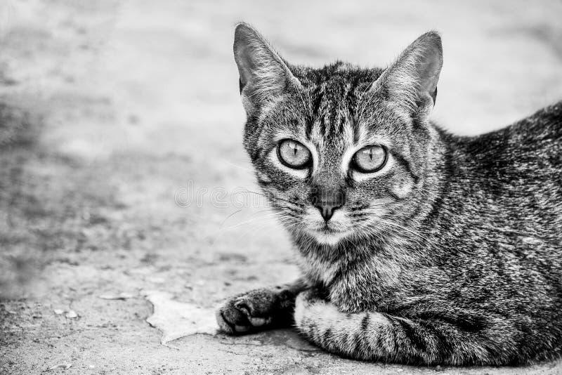 Ritratto vicino ad un gatto in bianco e nero immagine stock libera da diritti