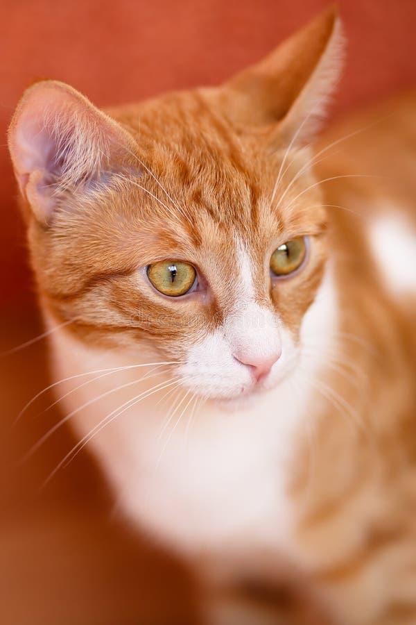 Ritratto vicino di bello gatto di soriano rosso maschio con le marcature bianche con gli occhi colorati dorati e verdi fotografie stock libere da diritti
