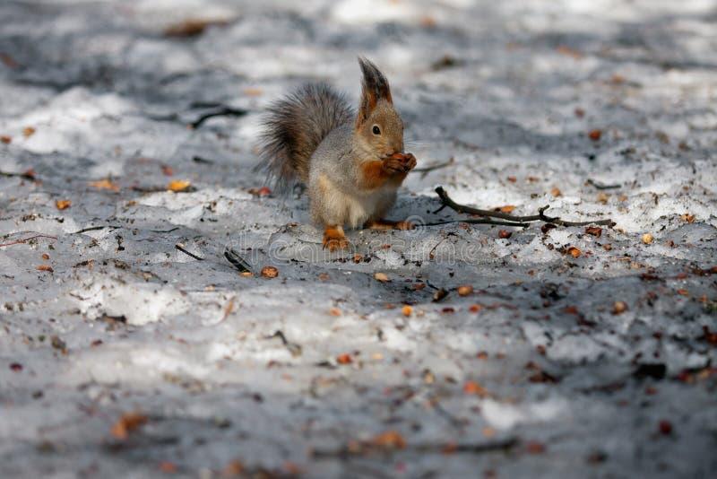 Ritrovamento dello scoiattolo immagini stock libere da diritti