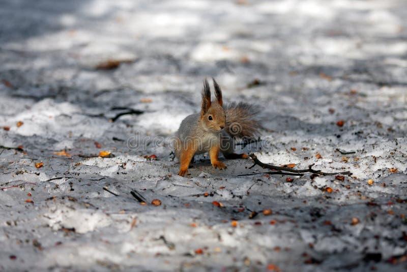 Ritrovamento dello scoiattolo fotografie stock