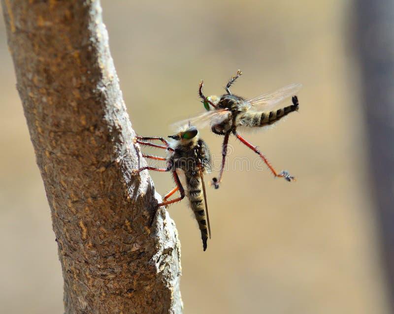 Rituale di adulazione della mosca di ladro immagini stock