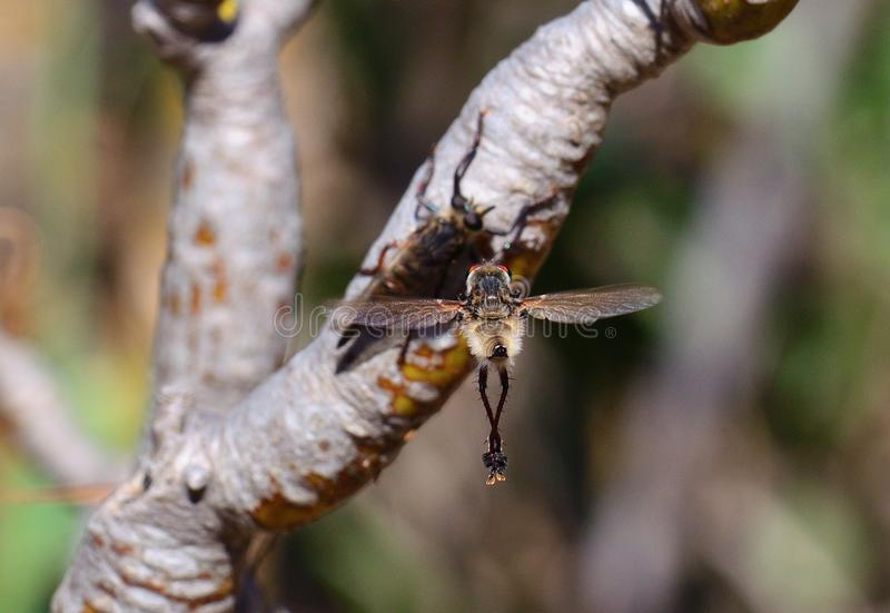 Rituale di adulazione della mosca di ladro fotografie stock libere da diritti