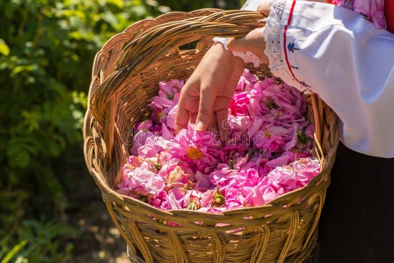 Rituale di raccolto di Rosa fotografia stock libera da diritti
