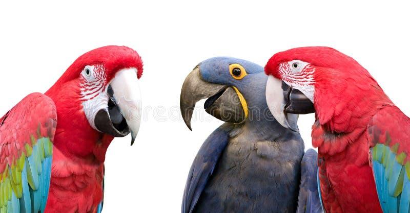 Riunione del pappagallo fotografia stock libera da diritti