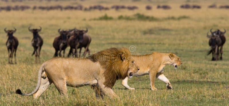Riunione il leone e della leonessa nella savana Sosta nazionale kenya tanzania Masai Mara serengeti fotografia stock libera da diritti