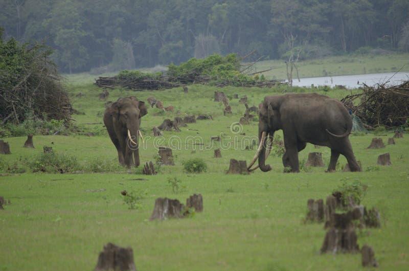 Riunione maschio degli elefanti fotografia stock