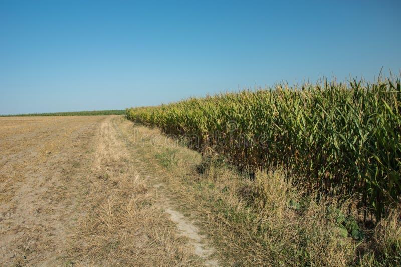 Rivage de champ de maïs et ciel sans nuages image stock