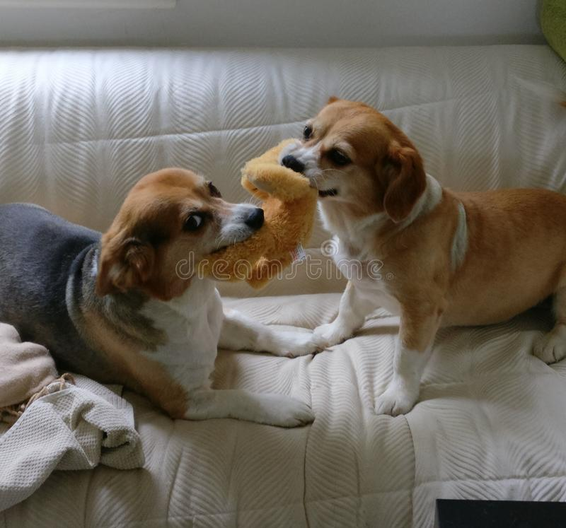 Rivalité fraternelle - chiens sur le film images stock