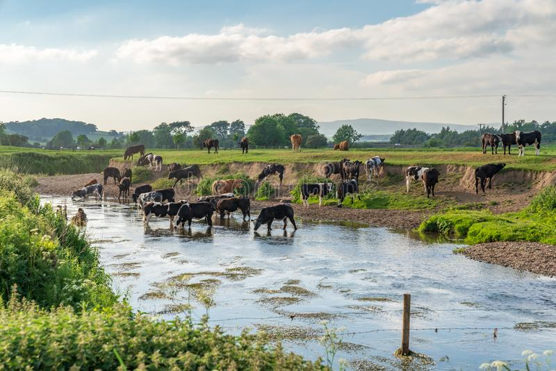 River Aire, near Skipton, North Yorkshire, England, UK. Near Skipton, North Yorkshire, England, UK - June 06, 2018: Cows bathing in the River Aire royalty free stock image