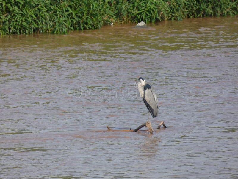 Martinet blanc - Garceta común - Egretta garzetta - Little Egret. River bird that lives on fishing, has different names, depending on the language; Martinet royalty free stock photos