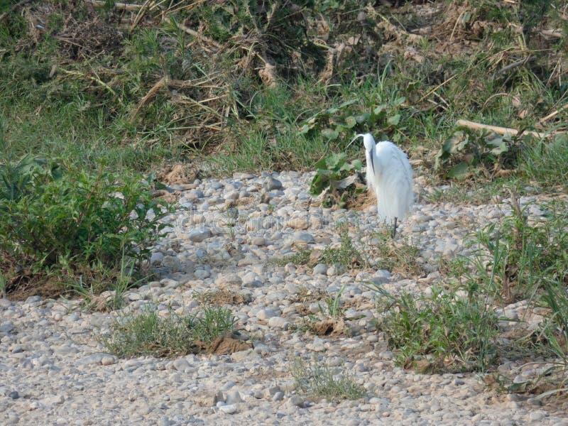 Martinet blanc - Garceta,  Egretta garzetta - Little Egret. River bird that lives on fishing, has different names, depending on the language; Martinet blanc stock photography