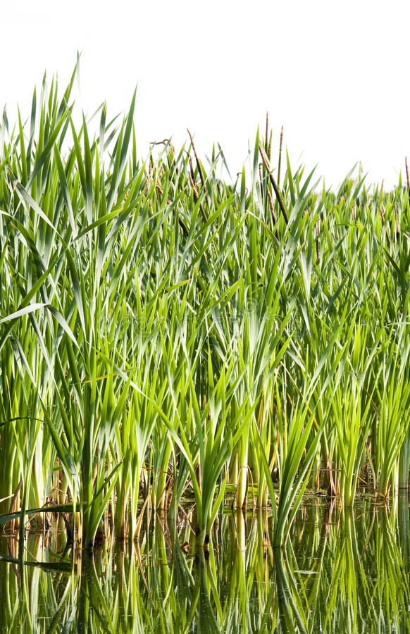 River cane stock images