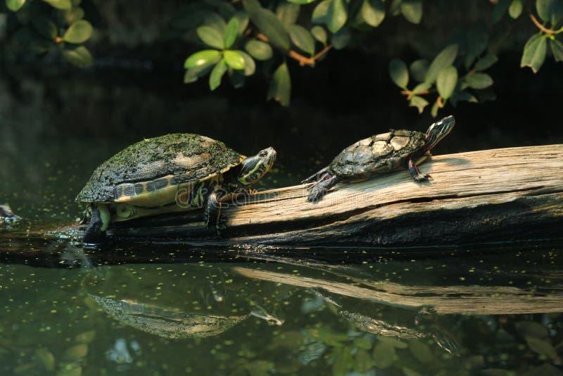 River Cooter e tartaruga pintada oriental fotografia de stock royalty free