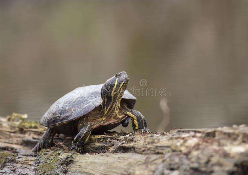 River- Cooterschildkröte in Louisiana lizenzfreies stockbild