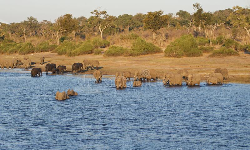 River crossing elephants in Chobe, Botswana. Herd of Elephants swimming in the river in Chobe National Park in Botswana