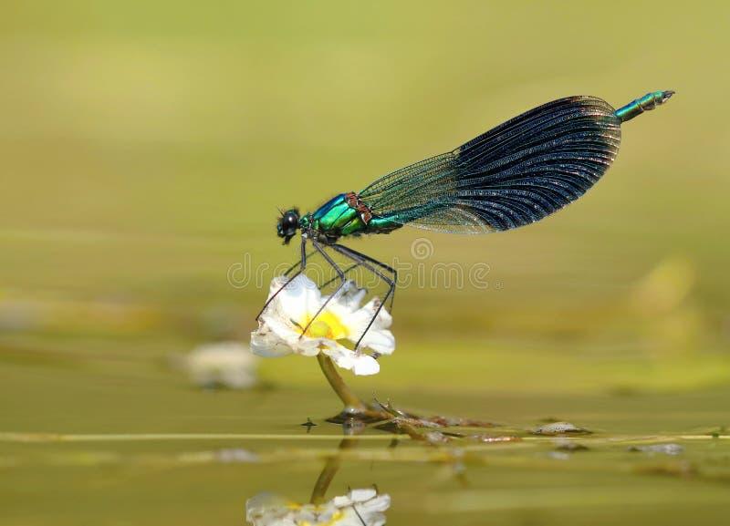 River dragonfly Calopteryx splendens stock photography