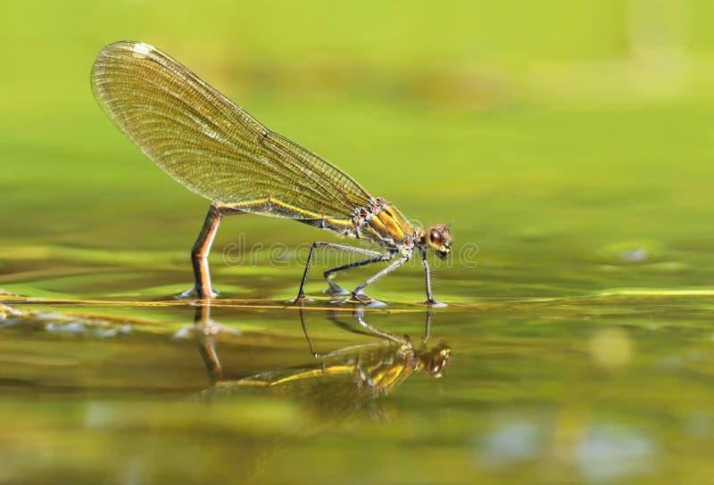 River dragonfly Calopteryx splendens stock image