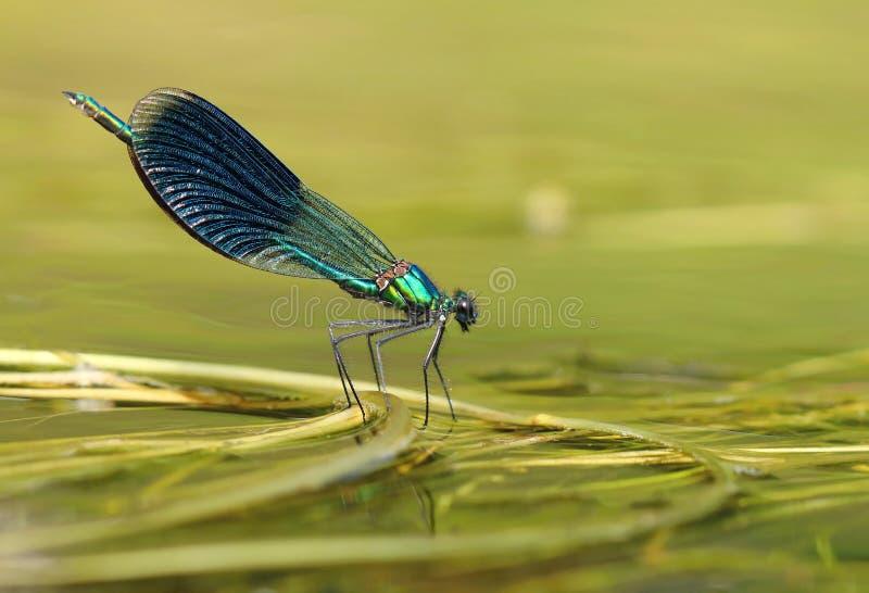 River dragonfly Calopteryx splendens stock photo