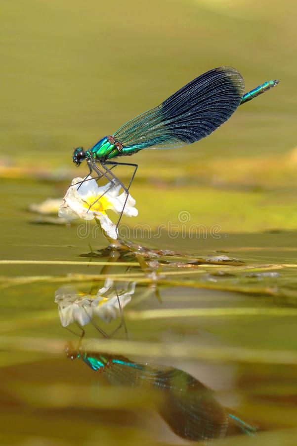 River dragonfly Calopteryx splendens royalty free stock images