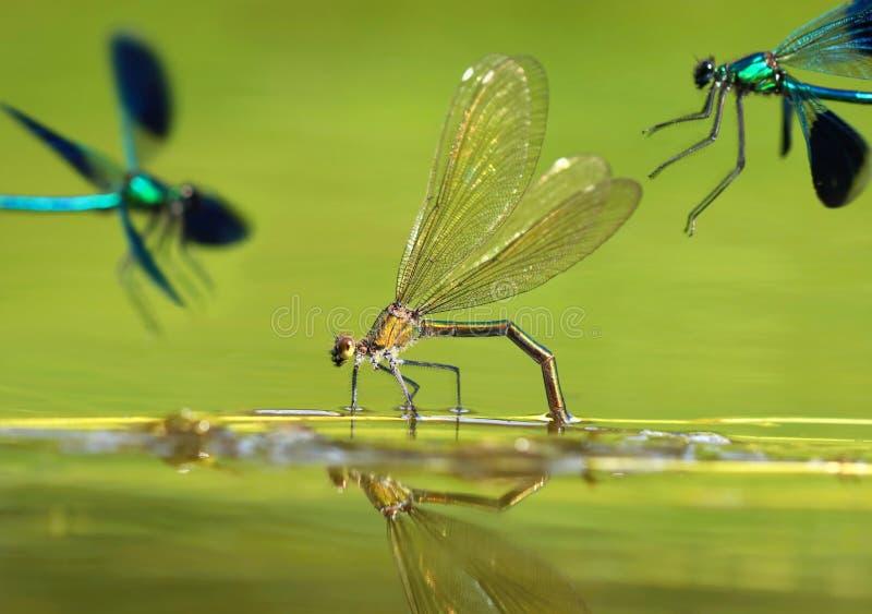 River dragonfly Calopteryx splendens stock photos