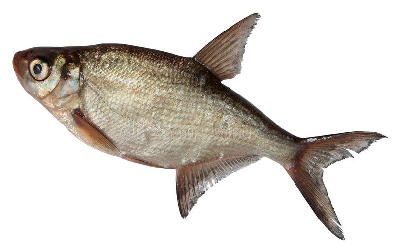 River Fish Isolated on white background. roach royalty free stock photography