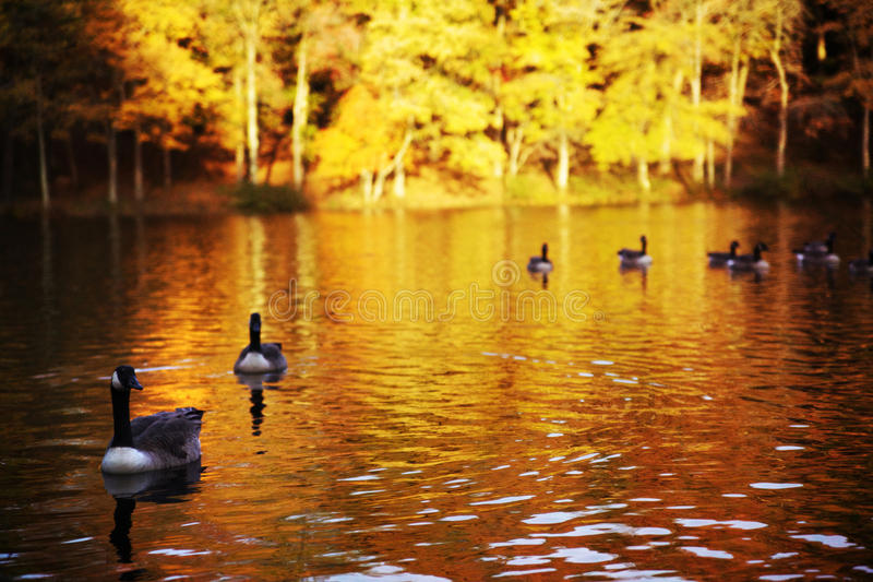 Geese Swimming down a river in Autumn, Brown and G stock photography