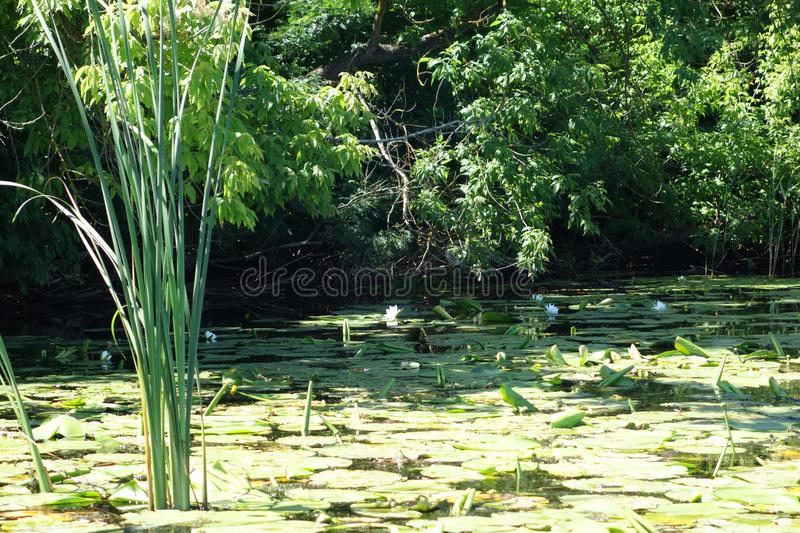River grass and waterlilies summer royalty free stock images