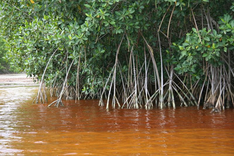 The river habitat at Celestun, Mexico stock image