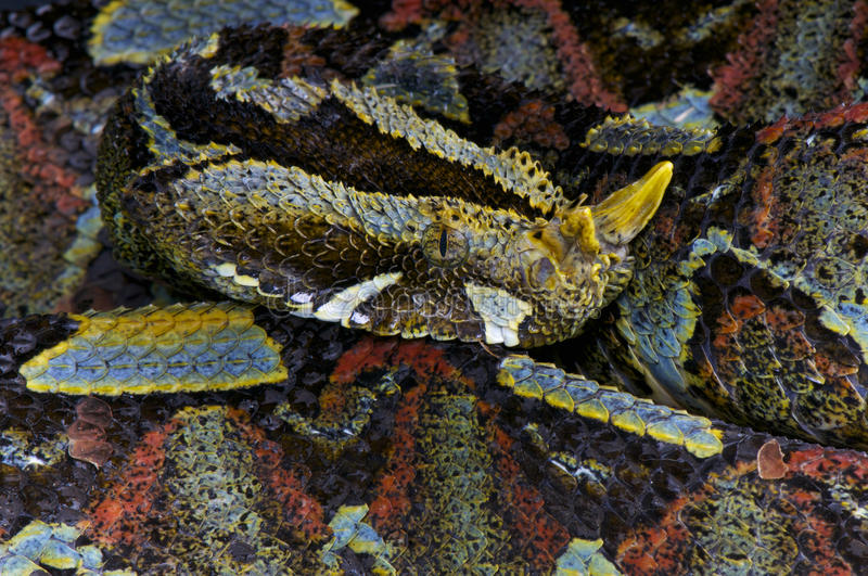 River jack / Bitis nasicornis. One of the most impressive snakes in the world, the River jack also known as Rhinoceros viper is a huge viper species native to royalty free stock photos
