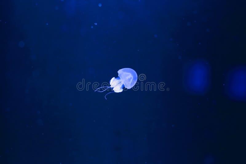 River jellyfish in aquarium royalty free stock photography