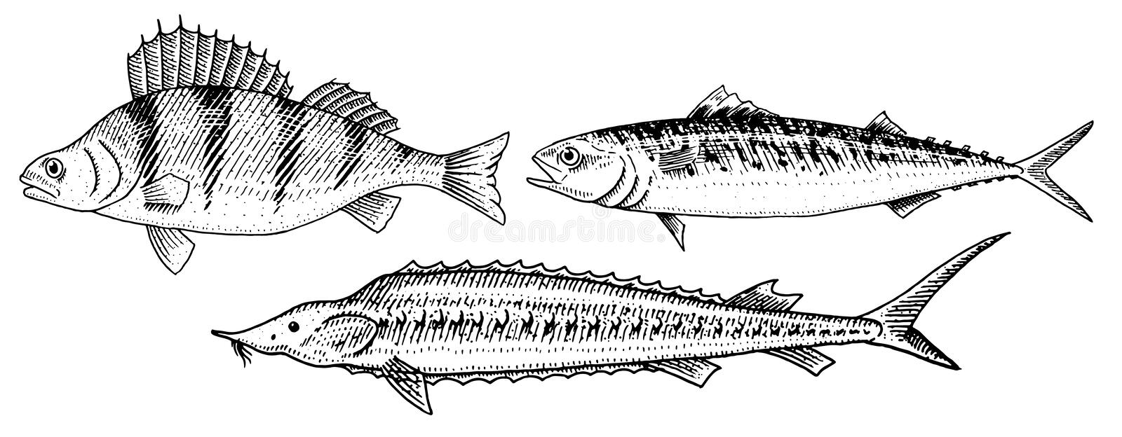 River and lake fish. Perch or bass, Scomber or mackerel, beluga and sturgeon. Sea creatures. Freshwater aquarium. Seafood for the menu. Engraved hand drawn in stock illustration