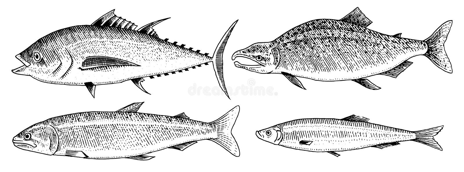 River and lake fish. Salmon and rainbow trout, tuna and herring, seawater and freshwater carp. freshwater aquarium. Seafood for the menu Engraved hand drawn in vector illustration