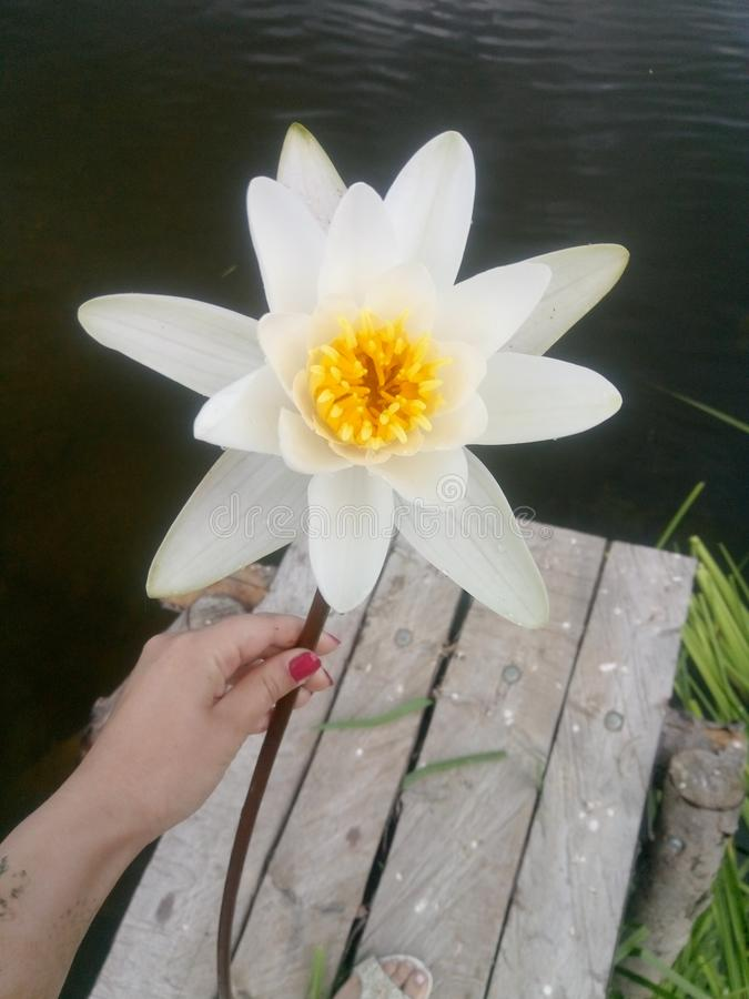 River lily royalty free stock images