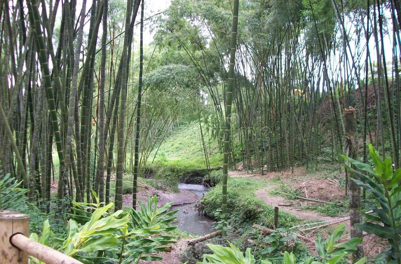 River in the middle of a bamboo forest stock images
