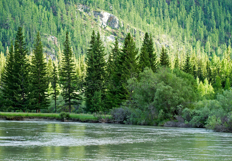 River Mountains Forest. The Chuya river that flows through the Altai mountains (Russia) with fir forest that covers banks and hills (mountains, rocks) which stock image