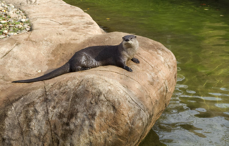 Download River Otter stock photo. Image of tail, wildlife, rock - 13399090