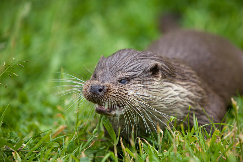 Download River Otter stock photo. Image of british, whiskers, otter - 23670862