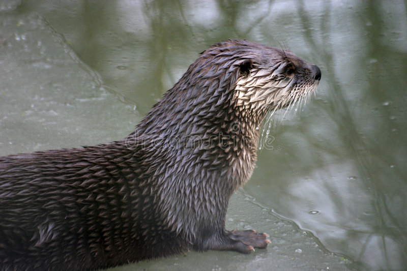 Download River Otter Royalty Free Stock Images - Image: 504859