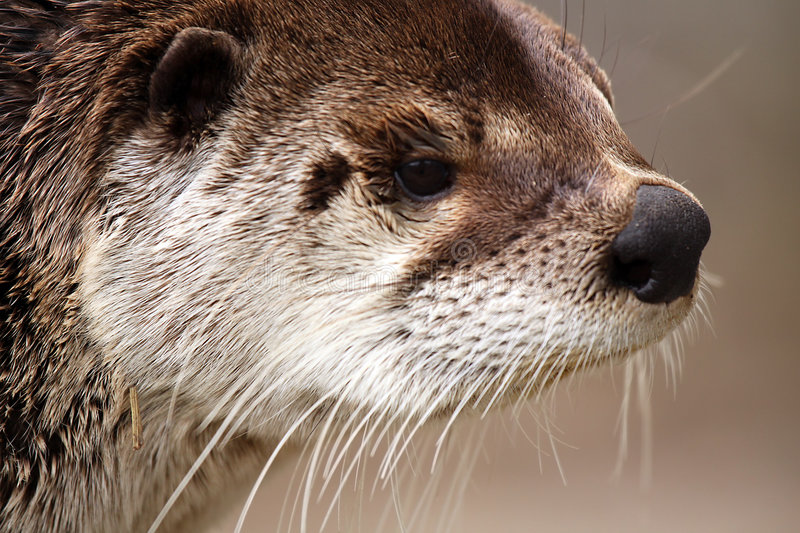 Download River Otter stock photo. Image of blurred, nature, closeup - 9034054