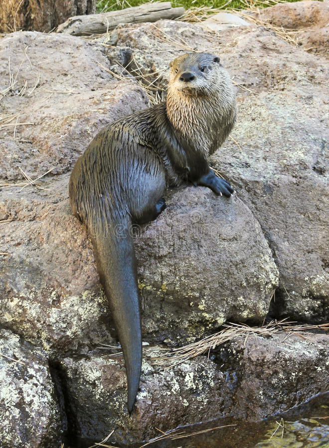 A River Otter Dries Out on a Rock royalty free stock photo