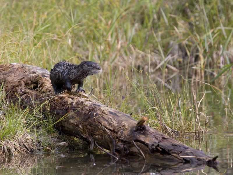 River Otter On A Log Royalty Free Stock Photo