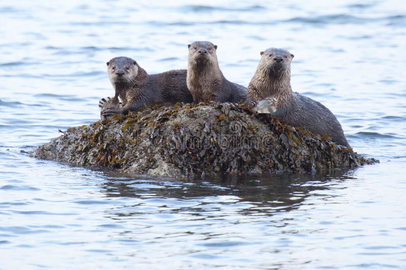 River Otters with food. These three river otters came up on this rock to consume their meals. Two of the three had just caught fresh flounders and were working stock photos