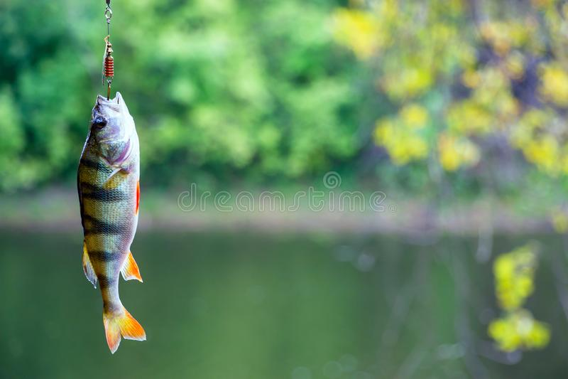 River perch on the hook stock images